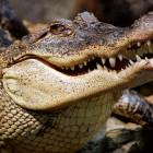 krokodil, aanval, carlton dry, australië